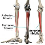 shin splints muscle anatomy